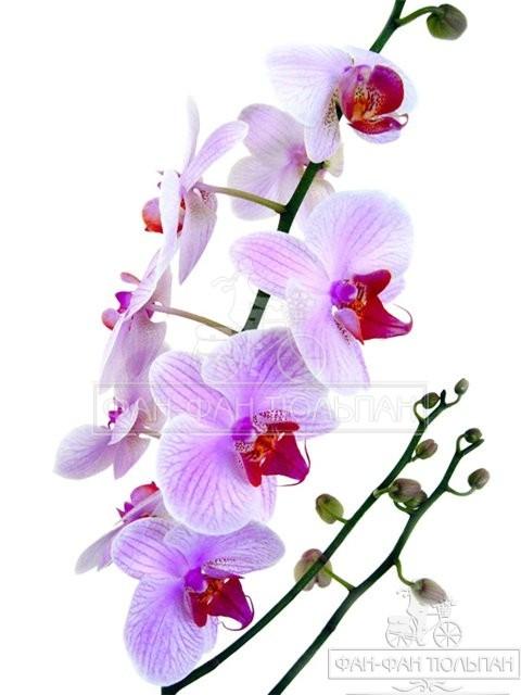 orhidei (1)