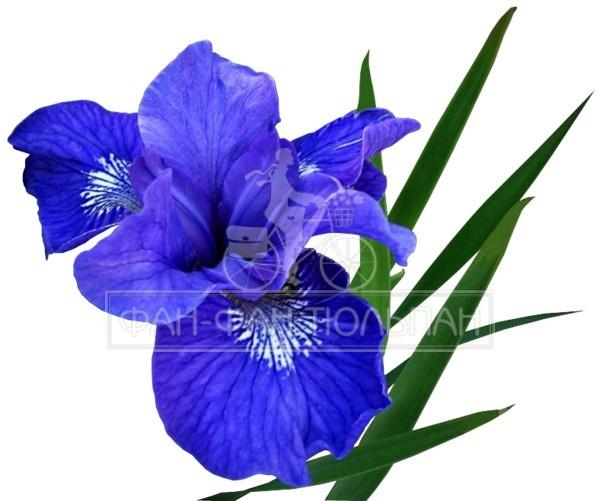 irisi (1)