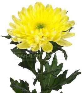 yellow_galactica_0_0_72324-600x600